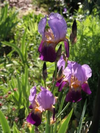 Iris 'Alcazar' - Vilmorin 1910 - Page 2 Iris_a14