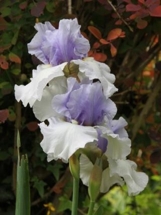 Iris 'Alpenview' - Keith Keppel 2002 Iris_a22