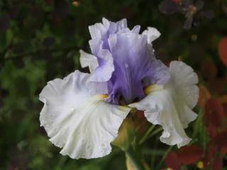 Iris 'Alpenview' - Keith Keppel 2002 Iris_a24