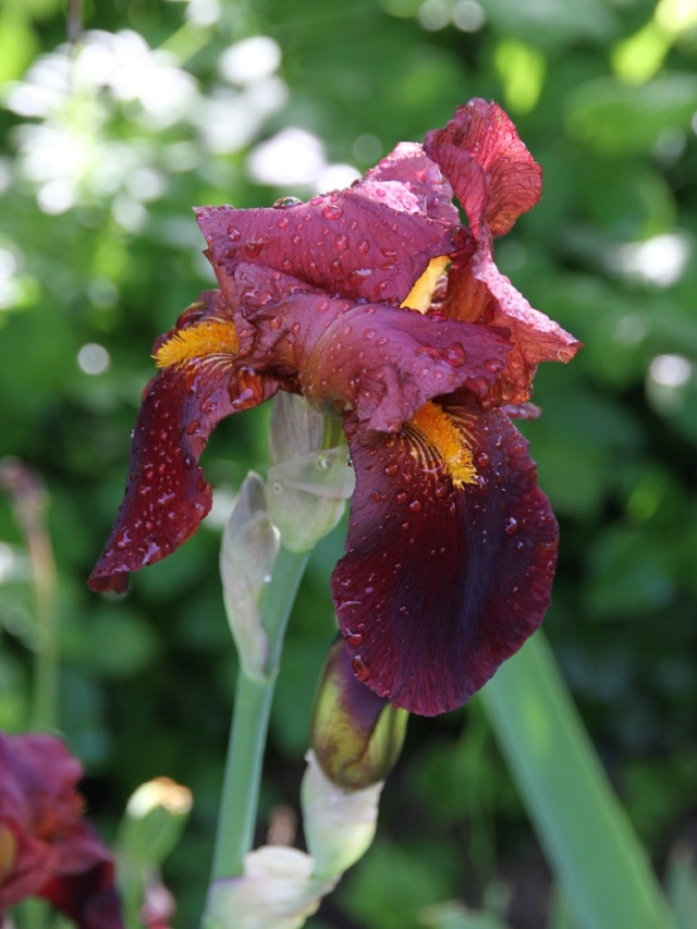 Iris 'Pacemaker' - Lilou [identification] Iris_a30