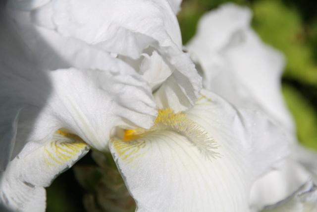 Iris blanc - Lilou [identification en cours] Iris_b19