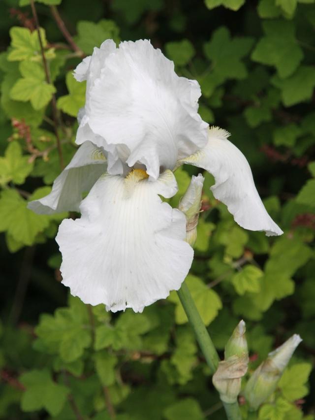 Iris blanc - Lilou [identification en cours] Iris_b20