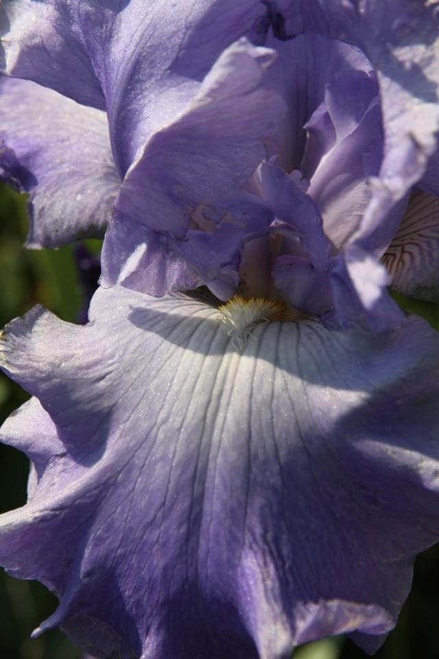 Iris Delta blues ? Lilou [identification en cours] Iris_d10