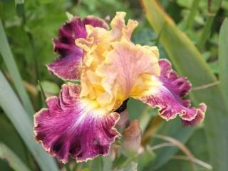 votre plus bel iris - Page 2 Iris_h10