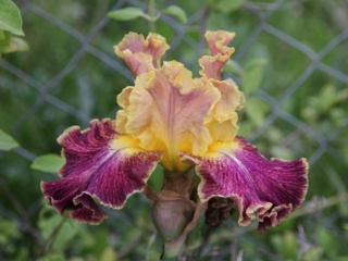 Iris 'High Master' - Blyth 2000 Iris_h14