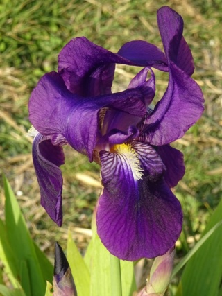 Inconnu violet Iris_p17