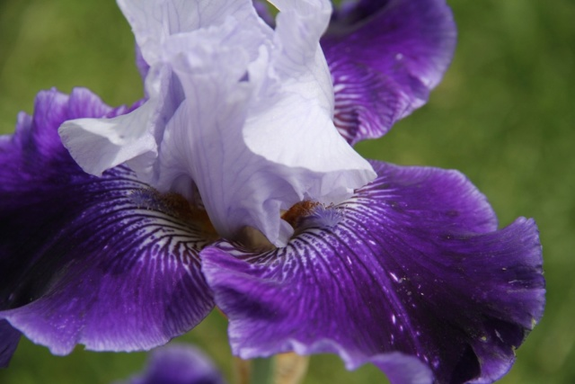 Iris amoena azur marine - Lilou [Identification en cours] Iris_p31
