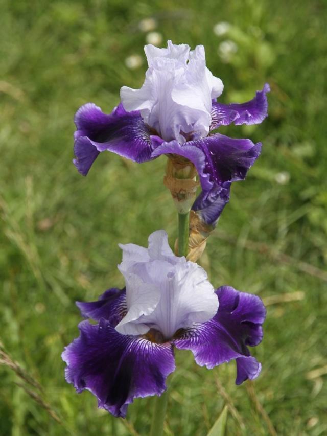 Iris amoena azur marine - Lilou [Identification en cours] Iris_p32