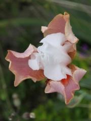 Iris 'Sugar Magnolia' - Schreiner 1998 Iris_s15