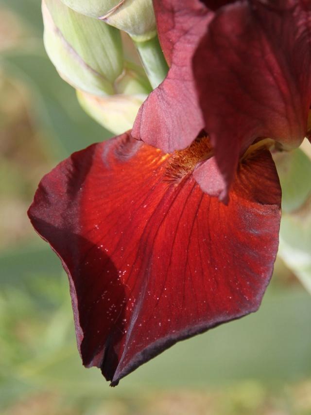 Iris rouge-bordeaux-grenat - Lilou [identification en cours] Iris_s55