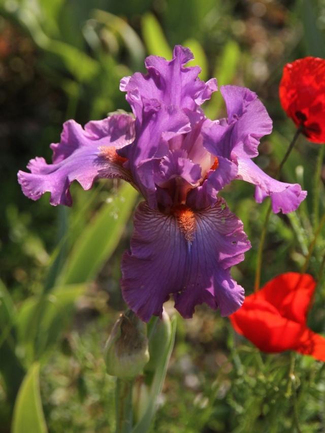 Iris rose barbe orange - Lilou [identification en cours] Iris_s62