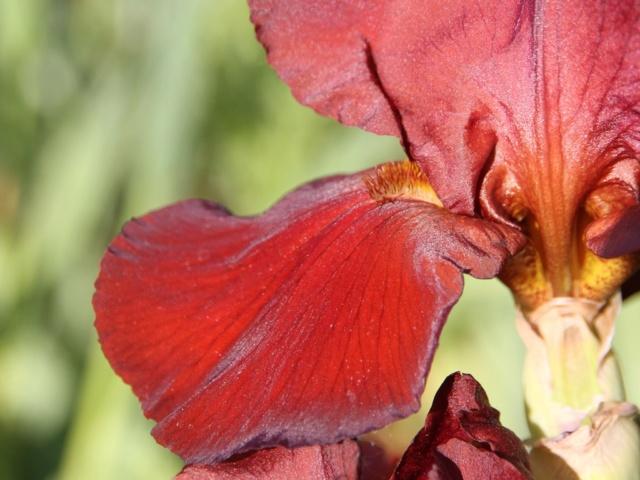 Iris rouge-bordeaux-grenat - Lilou [identification en cours] Iris_s70