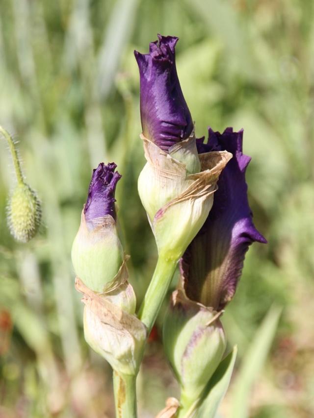 Iris rose barbe orange - Lilou [identification en cours] Iris_s76