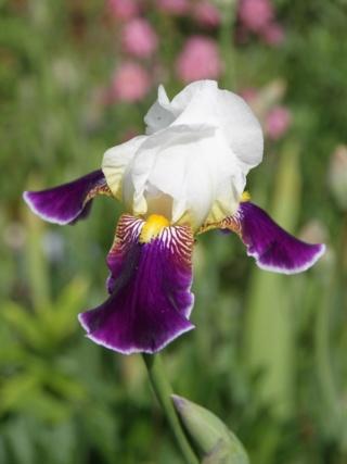 Iris 'Wabash' - Williamson 1936 Iris_w14