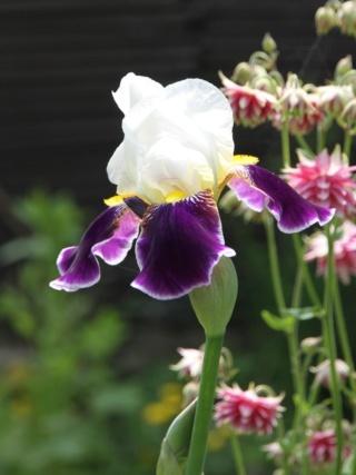Iris 'Wabash' - Williamson 1936 Iris_w15