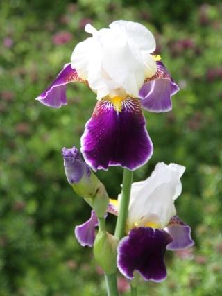 Iris 'Wabash' - Williamson 1936 Iris_w16