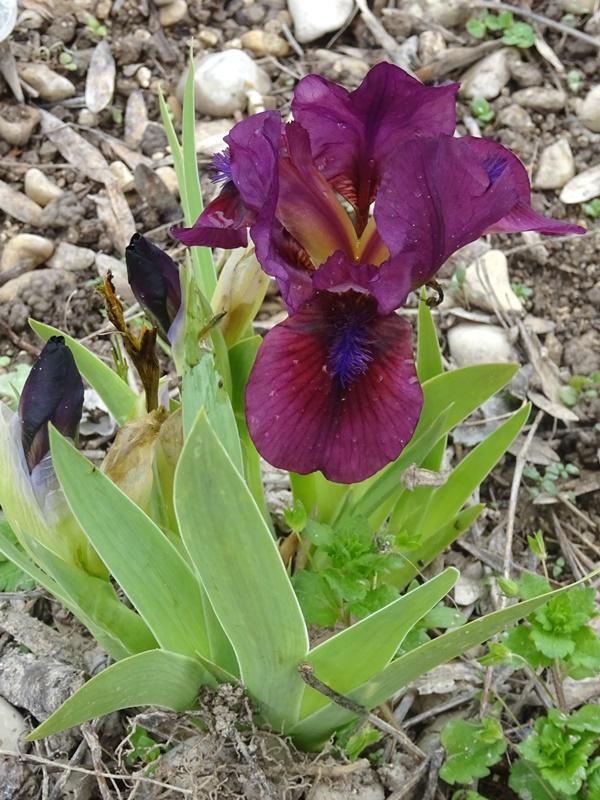 Iris 'Cherry Garden' - Bennett Jones 1966 Massif12