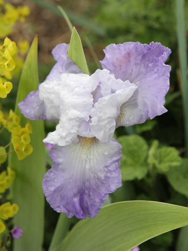 Iris amoena mauve - Lilou [identification en cours] Massif34
