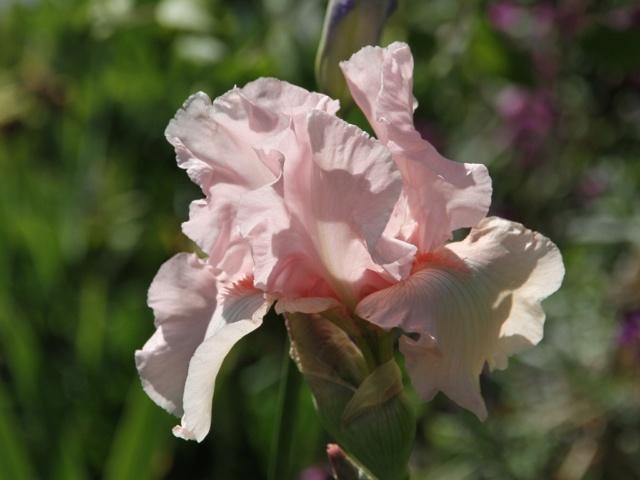 Iris rose - Lilou [identification en cours] Massif47
