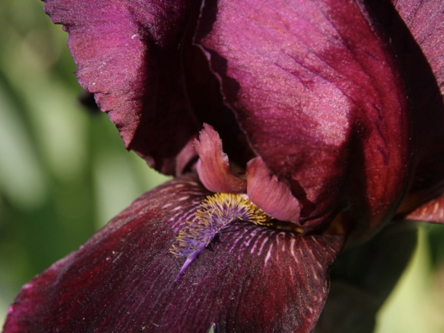 Iris bitone sombre bourgogne - Lilou [identification en cours] Massif58