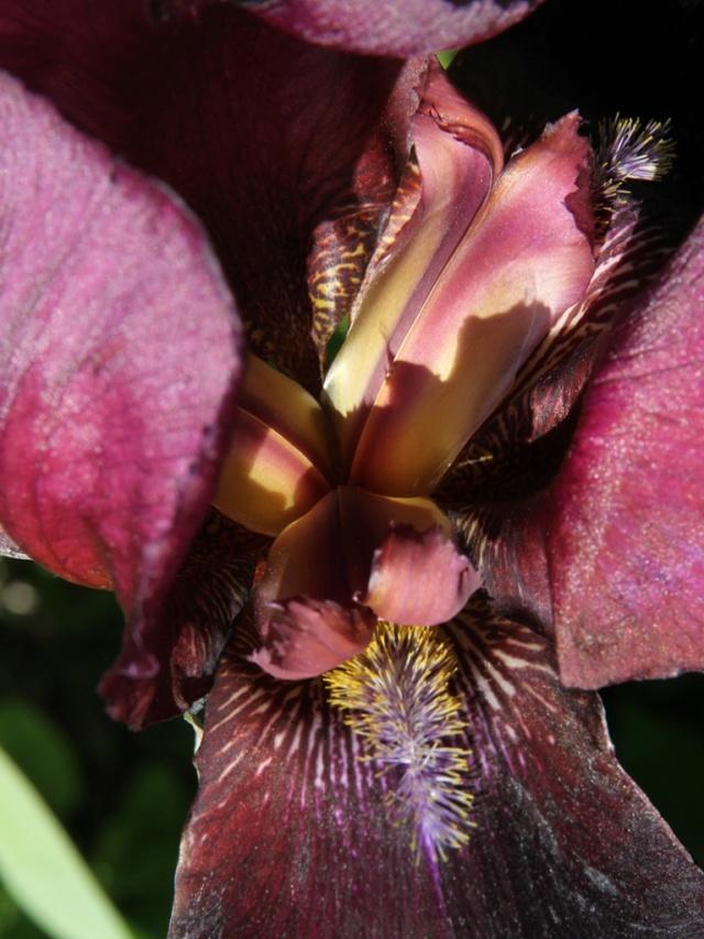 Iris bitone sombre bourgogne - Lilou [identification en cours] Massif59