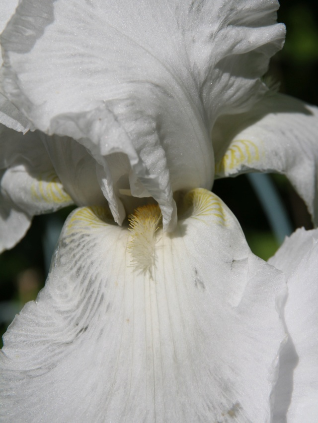 Iris blanc - Lilou [identification en cours] Massif61