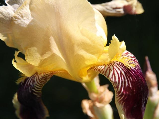 Iris variegata beige et violet - Flora et Lilou [identification en cours] - Page 3 Massif78