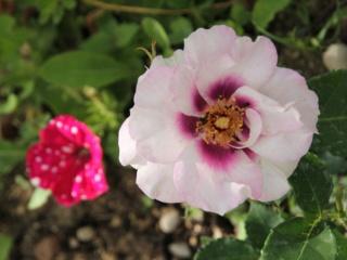 tous ces rosiers que l'on aime - floraisons - Page 6 Rosier27