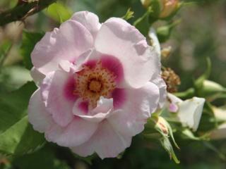 tous ces rosiers que l'on aime - floraisons - Page 6 Rosier30