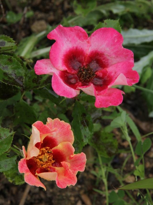 tous ces rosiers que l'on aime - floraisons - Page 6 Rosier35