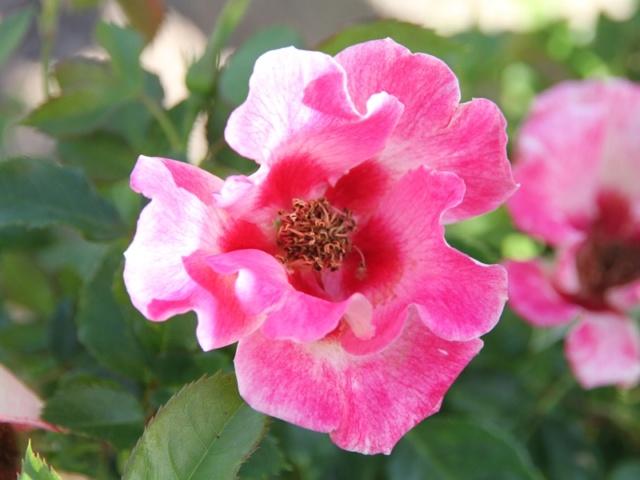 tous ces rosiers que l'on aime - floraisons - Page 6 Rosier39