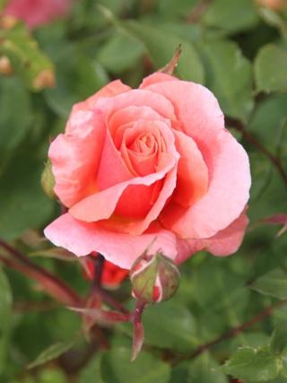 tous ces rosiers que l'on aime - floraisons - Page 6 Rosier41