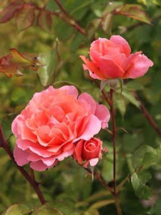 tous ces rosiers que l'on aime - floraisons - Page 6 Rosier42