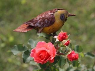 tous ces rosiers que l'on aime - floraisons - Page 6 Rosier43