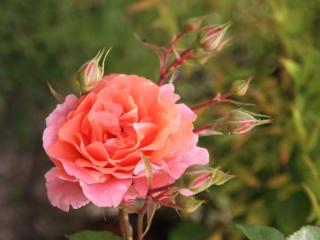 tous ces rosiers que l'on aime - floraisons - Page 6 Rosier44