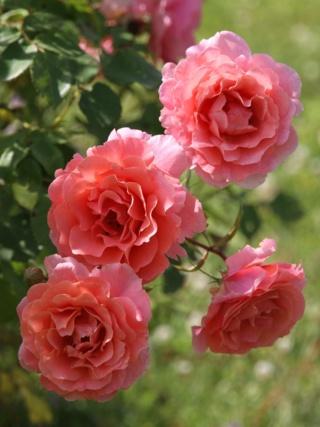 tous ces rosiers que l'on aime - floraisons - Page 6 Rosier45