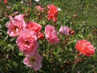 tous ces rosiers que l'on aime - floraisons - Page 6 Rosier46