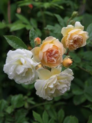 tous ces rosiers que l'on aime - floraisons - Page 6 Rosier47