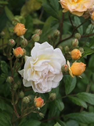 tous ces rosiers que l'on aime - floraisons - Page 6 Rosier48