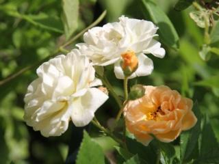tous ces rosiers que l'on aime - floraisons - Page 6 Rosier49