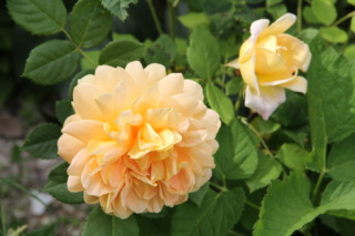tous ces rosiers que l'on aime - floraisons - Page 6 Rosier50