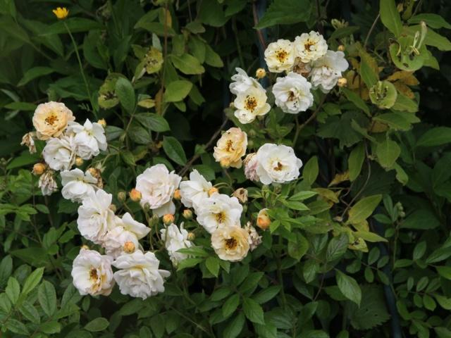 tous ces rosiers que l'on aime - floraisons - Page 6 Rosier52