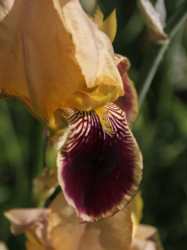 Iris variegata beige et violet - Flora et Lilou [identification en cours] - Page 3 Zoom_s11