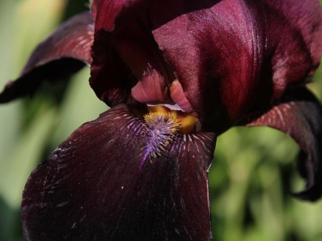 Iris bitone sombre bourgogne - Lilou [identification en cours] Zoom_s12