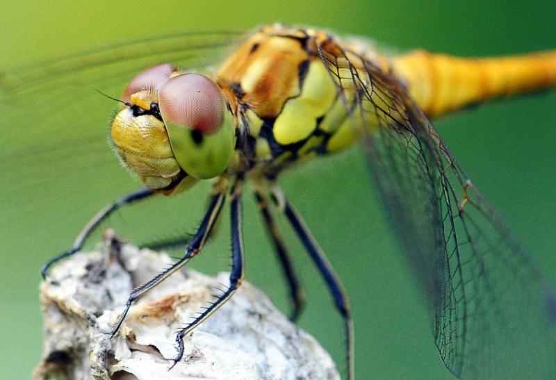 Odonate jurassien Insect10