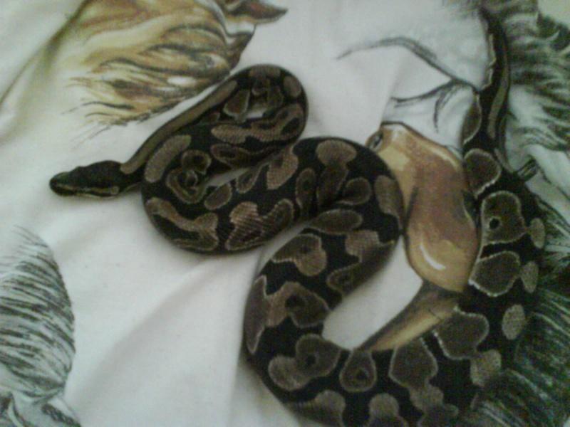 voila ma ou mon python Dsc00017