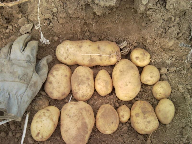 Arrachage Patates - Page 2 Bintje10