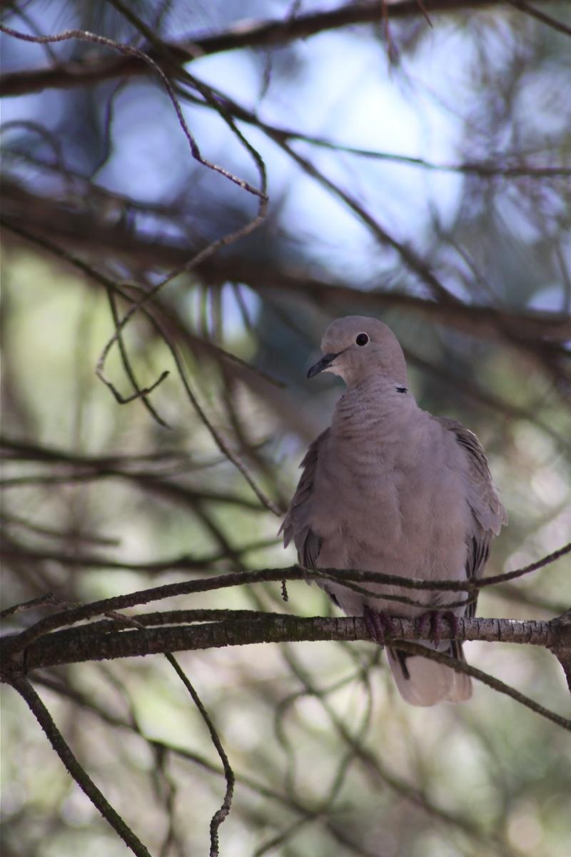 pigeon ramier Img_0315
