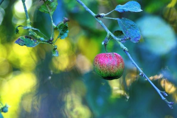 Pomme oubliée Pommeo10