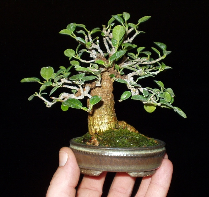 Burt Davii ficus progression shots 11_8-110